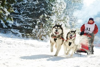 Sled dog racing ? musher dogteam driver and Siberian husky at snow winter competition race in forest